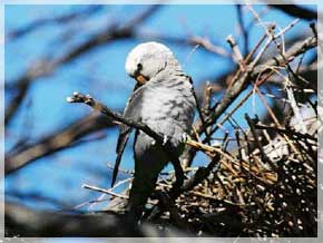 white ghost parrot of edgewater nj